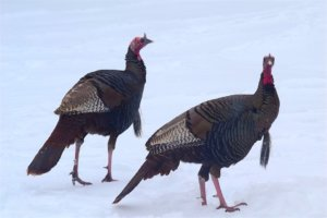 Literal cold turkeys.